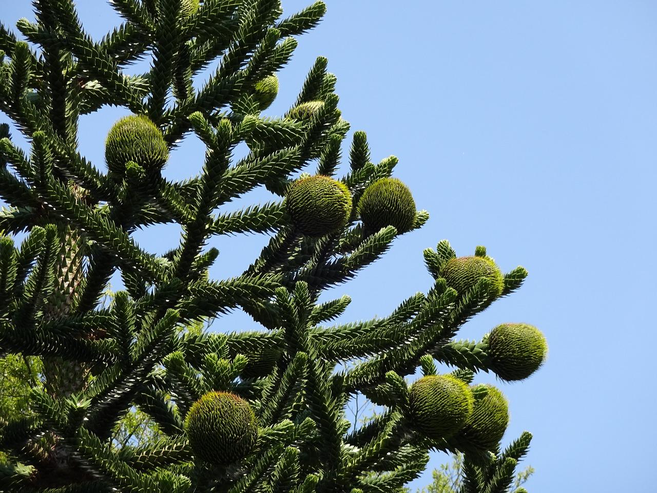Araukaria chilijska – uprawa, nasiona, sprzedaż