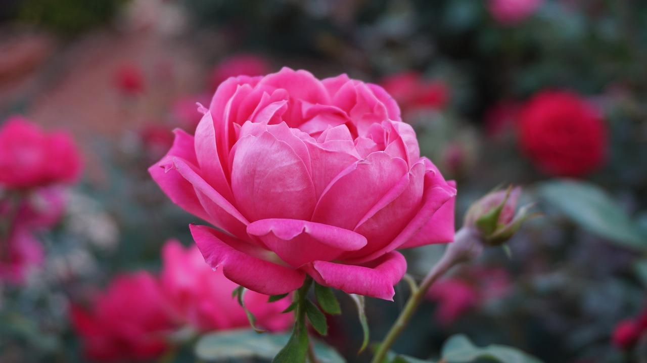 Róże zadbają o ozdobę i piękny zapach w ogrodzie